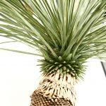 Yucca rostrata / ユッカロストラータ 断髪のイメージ