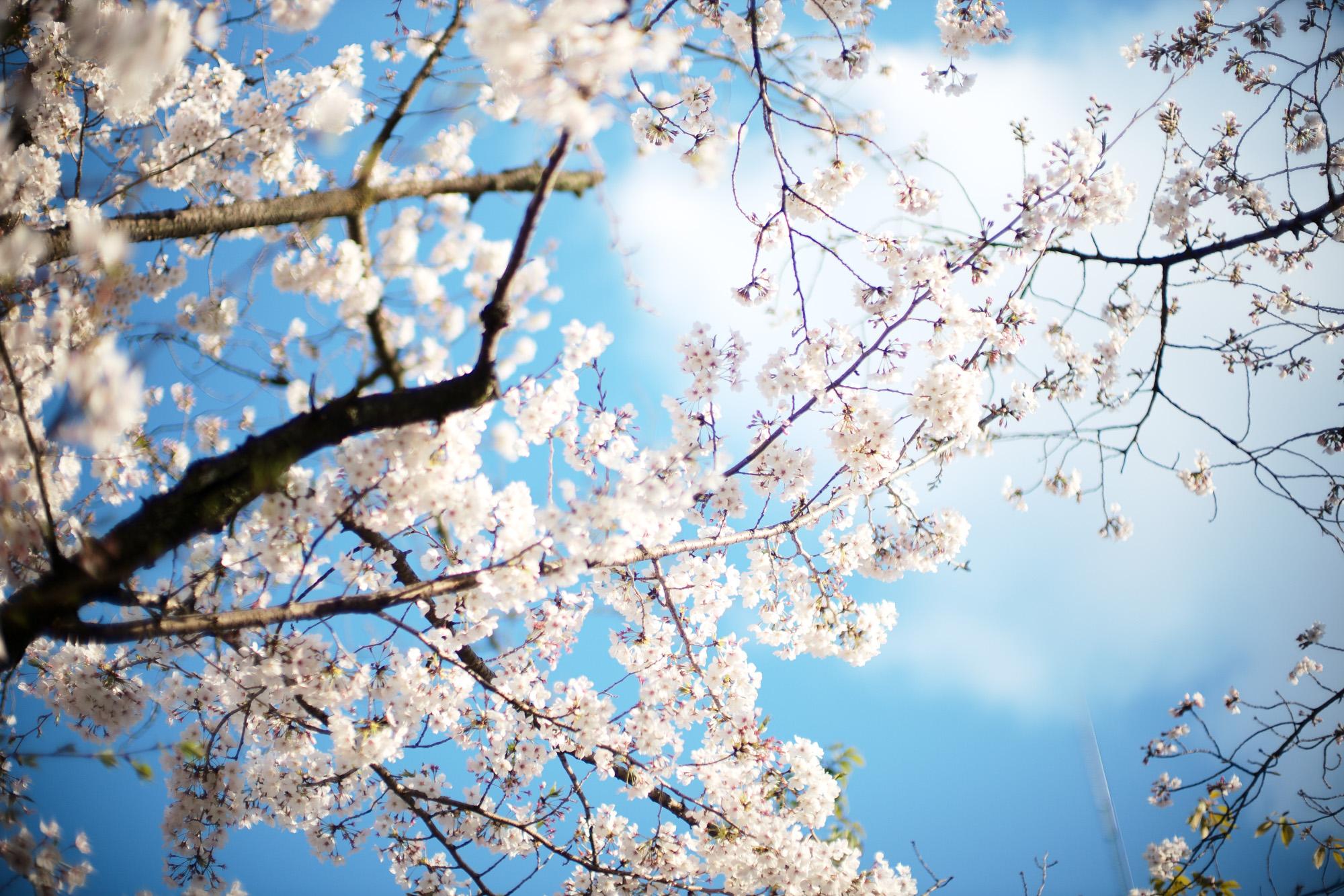 桜 Cherry Blossoms さくら サクラ alto e diritto アルトエデリット 愛知 名古屋 leica ライカ noctilux ノクチルックス ノクティルックス 50mm NOCTILUX-M f0.95/50mm ASPH. ノクチ